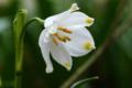 Flora Karpat: śnieżyca wiosenna