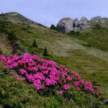 rhododendron-kotschyi-10