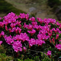 rhododendron-kotschyi-11