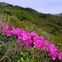 rhododendron-kotschyi-12