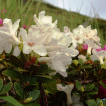 rhododendron-kotschyi-16-1