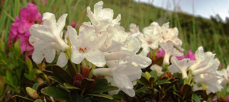 rhododendron-kotschyi-16