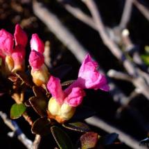 rhododendron-kotschyi-3
