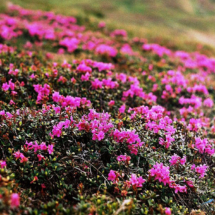 rhododendron-kotschyi-7