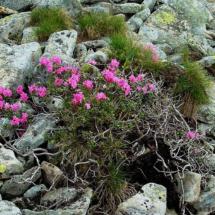 rhododendron-kotschyi-8