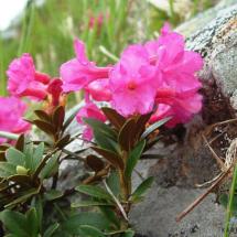 rhododendron-kotschyi-9