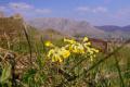 Flora Karpat: Pierwiosnek lekarski (Primula veris)