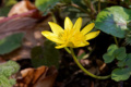 Flora Karpat: Ziarnopłon, jaskier wiosenny (Ficaria verna)