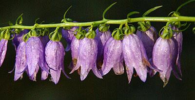 Flora Karpat: Dzwonek jednostronny (Campanula rapunculoides)