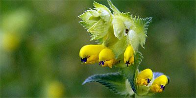 Flora Karpat: Szelężnik większy (Rhinanthus serotinus)