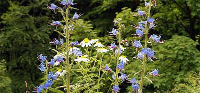 Żmijowiec zwyczajny (Echium vulgare)