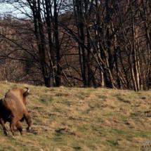 Żubr w Karpatach