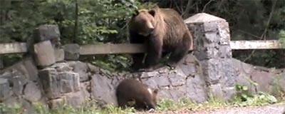 Niedźwiedzie w Karpatach Rumuńskich