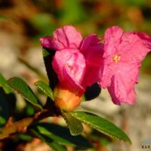 rhododendron-kotschyi-14