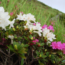 rhododendron-kotschyi-15
