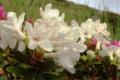 Różanecznik wschodniokarpacki