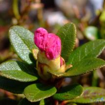 rhododendron-kotschyi-2
