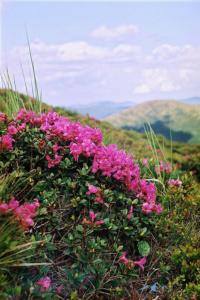 rhododendron-kotschyi-4