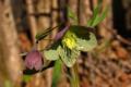 Ciemiernik purpurowy (Helleborus purpurascens)