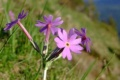 Flora Karpat: Pierwiosnek Hallera (Primula halleri)