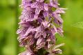 Flora Karpat: Kukułka Fuchsa (Dactylorhiza fuchsii)