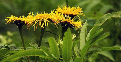 Flora Karpat: Smotrawa okazała (Telekia speciosa)